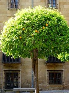 Baum der reife Orangen trägt